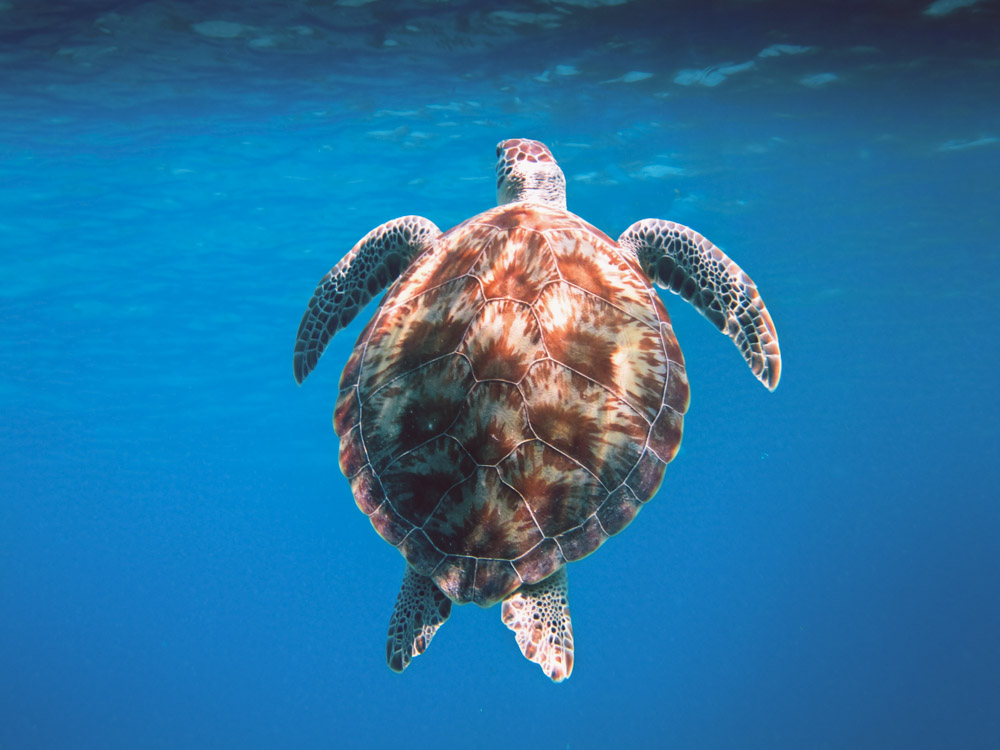 Turtle In Water With Large Shell
